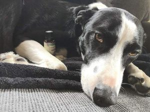 Essential logic: How oils and aromatherapy can help – or hurt – your pet